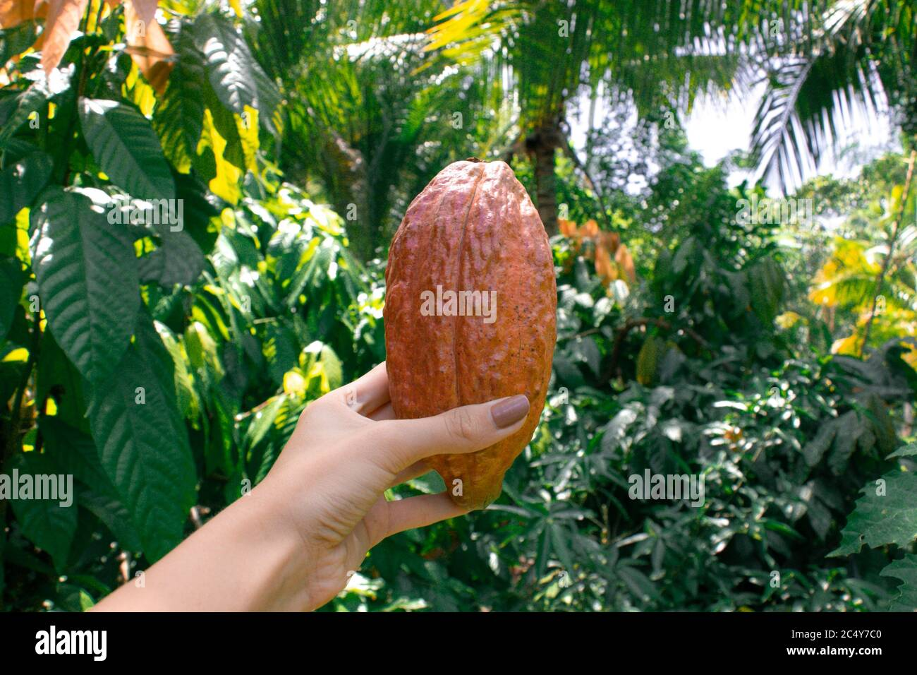 A young woman grips a Cacao pod in its natural habitat. Stock Photo