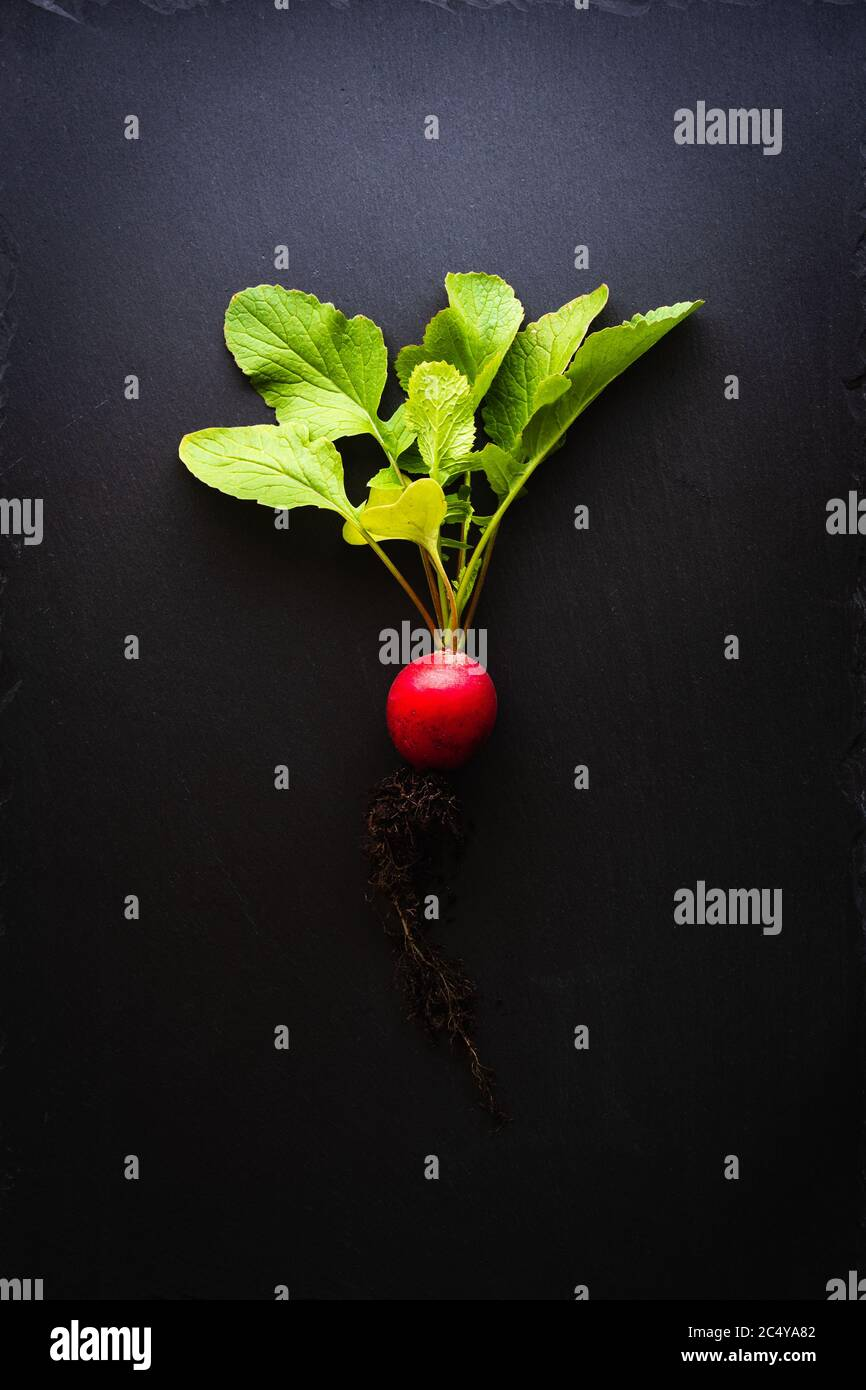 Top view of a red radish with roots and bright green leaves on a black slate plate. Concept of healthy, organic nutrition with fresh vegetables. Dark Stock Photo