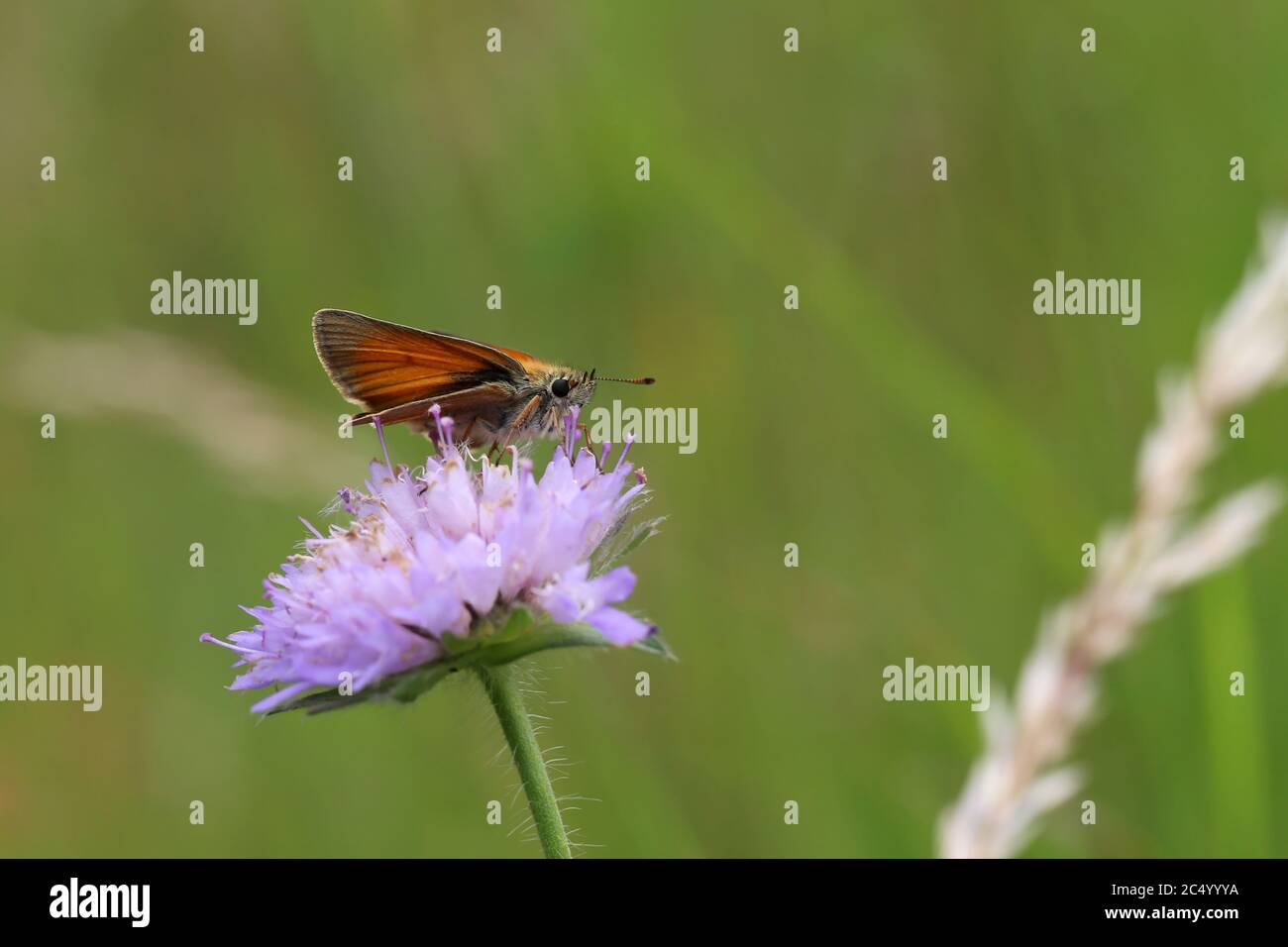 A close up view of a Large Skipper Butterfly Stock Photo