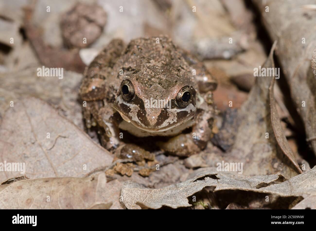 Strecker's Chorus Frog, Pseudacris streckeri, in leaf litter on forest floor Stock Photo