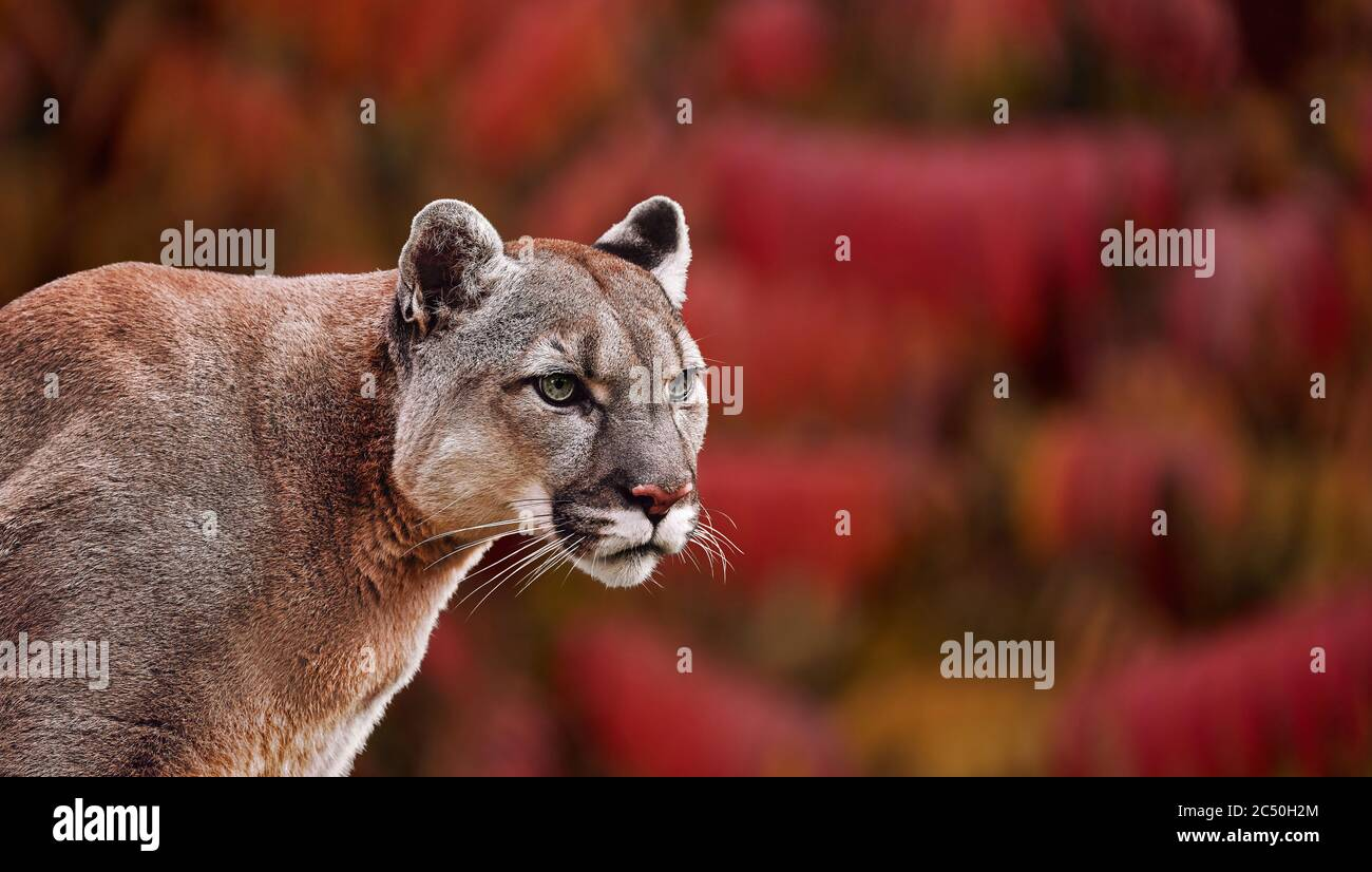 Portrait of Beautiful Puma in autumn forest. American cougar - mountain lion, striking pose, scene in the woods, wildlife America colors of autumn Stock Photo