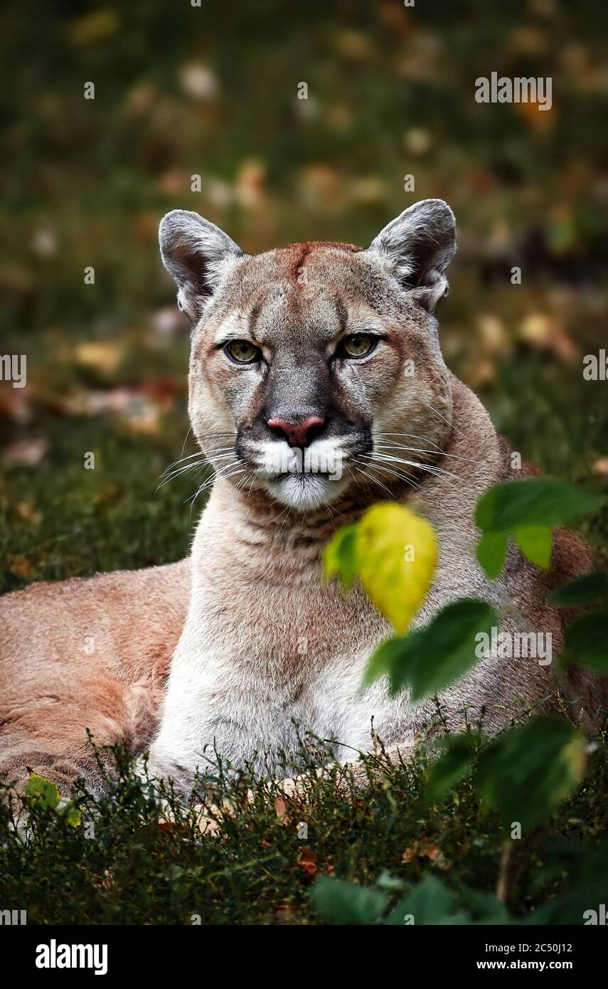 Portrait of Beautiful Puma in autumn forest. American cougar - mountain lion, striking pose, scene in the woods, wildlife America Stock Photo