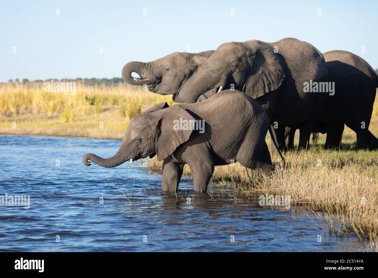 Elephant herd standing at river's edge drinking water in golden afternoon light in Chobe River in Botswana Stock Photo