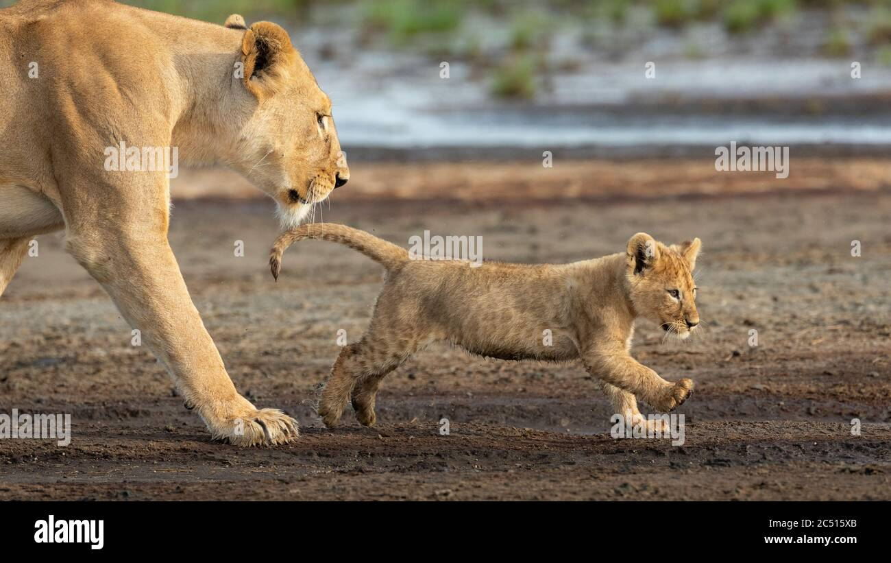 Lioness and her lion cub walking in the muddy riverbed in Ndutu Tanzania Stock Photo