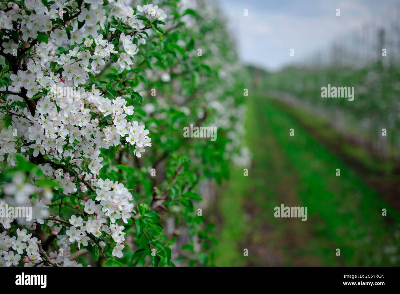 Fruit trees and industrial cultivation. Inflorescences on apple tree Stock Photo