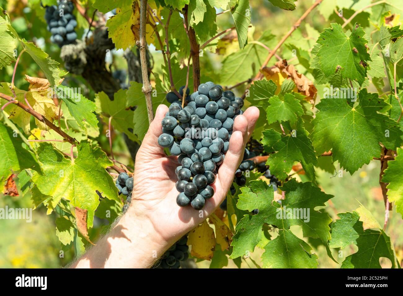 Weingut in der Toskana per Hand wir der Reifegrad der Trauben geprüft Stock Photo