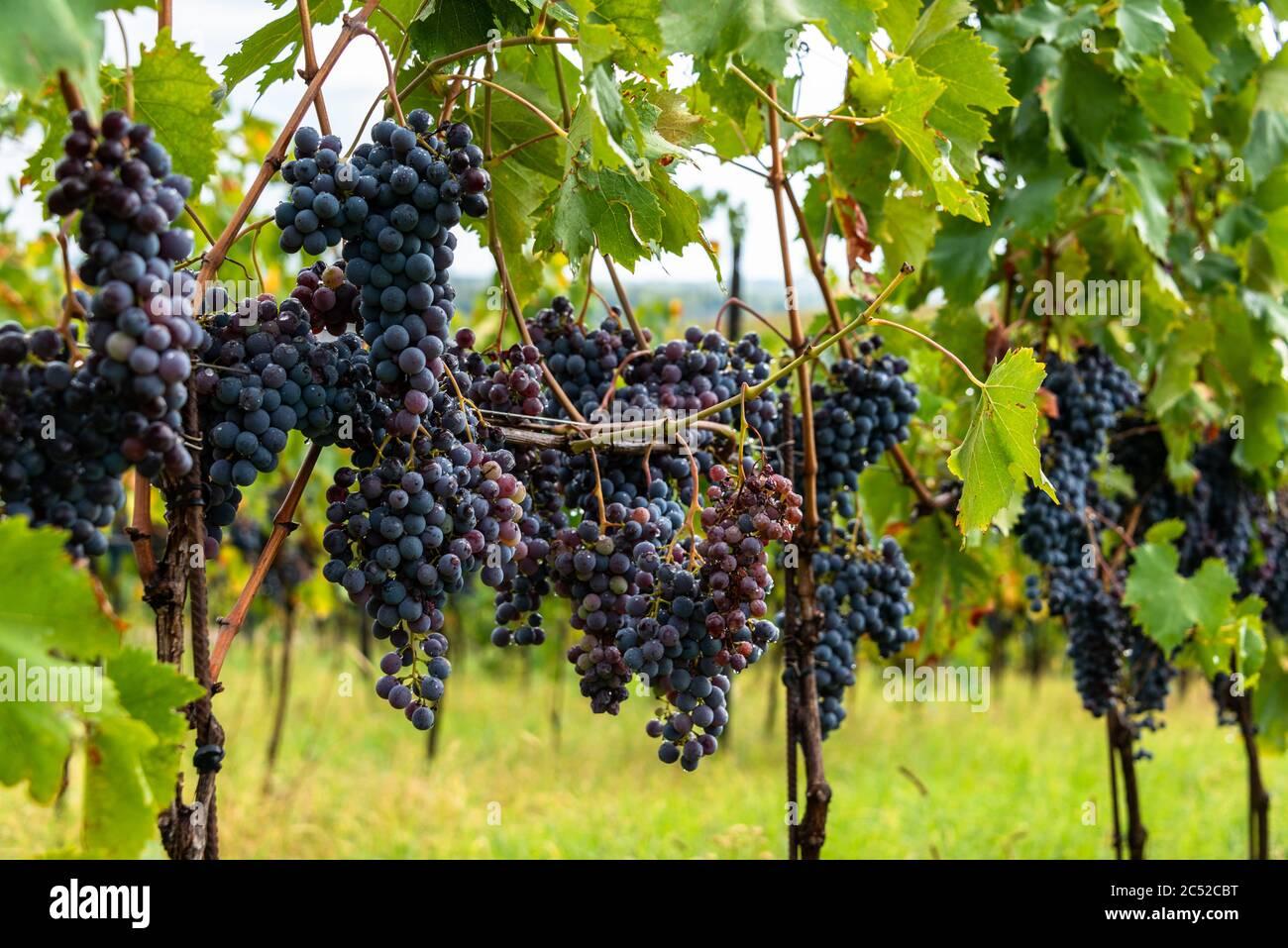 Reife Sangiovese Trauben am Stock im Chiantigebiet der Toskana Stock Photo