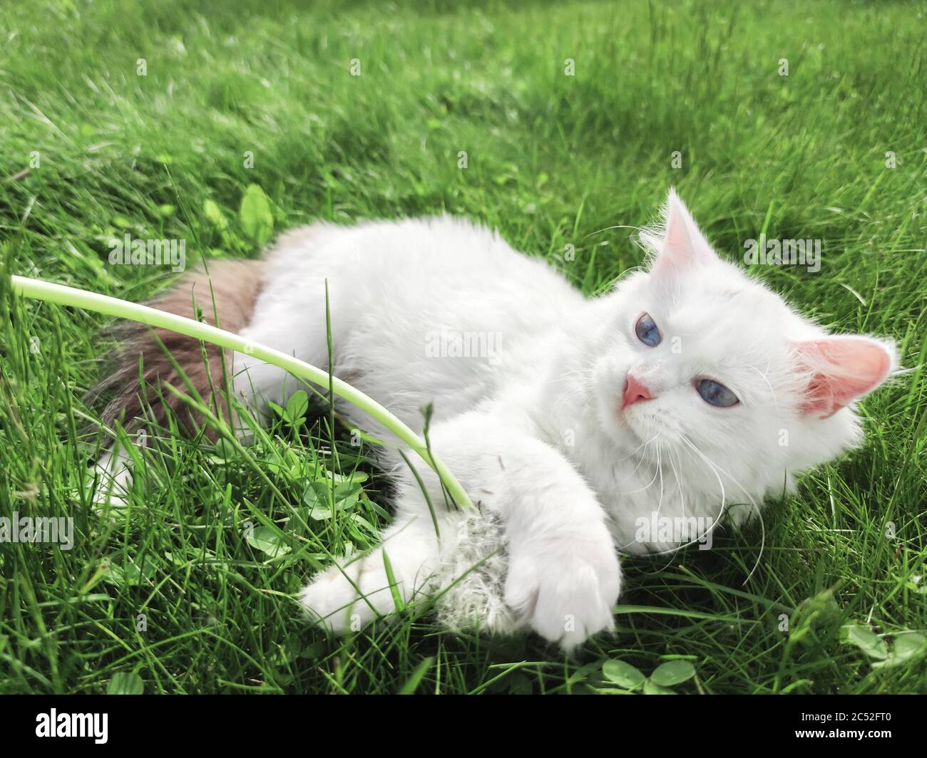 Cute White Kitten Playing With Dandelion On Green Grass Background Outdoors Beautiful Natural Wallpaper Summer Garden Scene Stock Photo Alamy