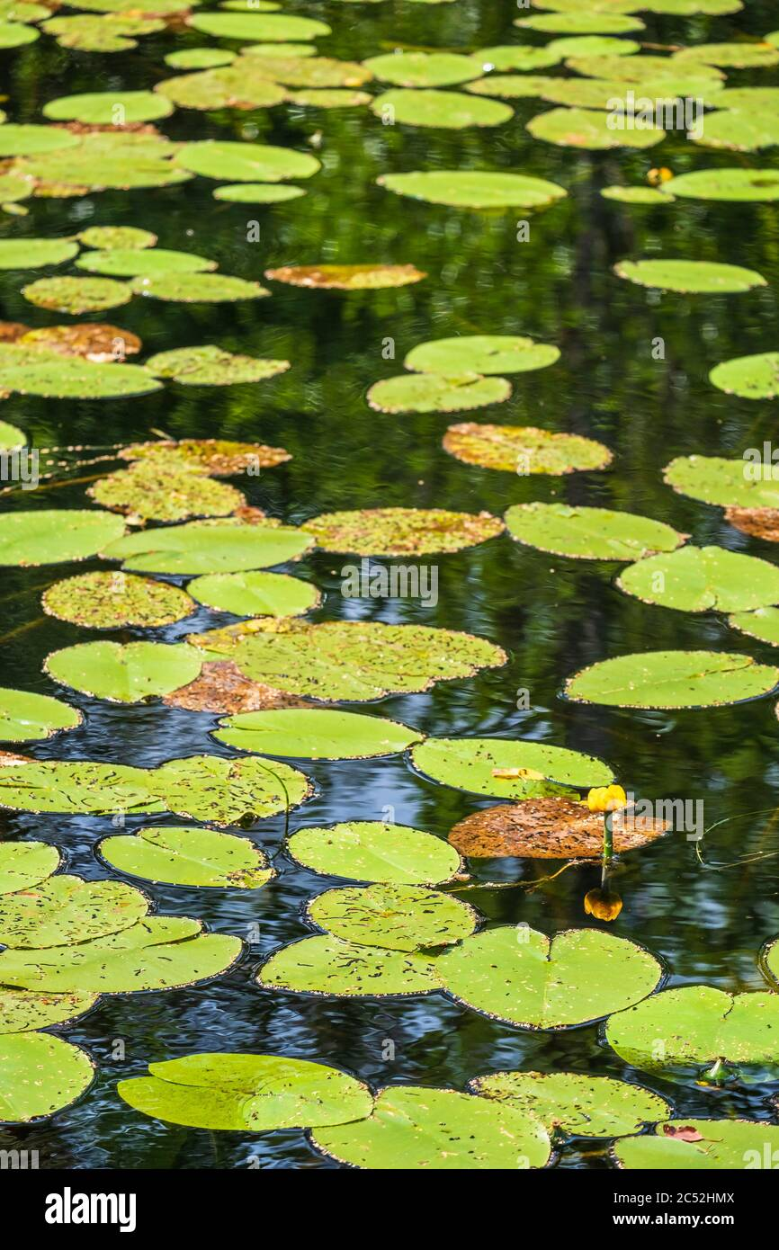 Lake with blooming yellow water lilies Stock Photo