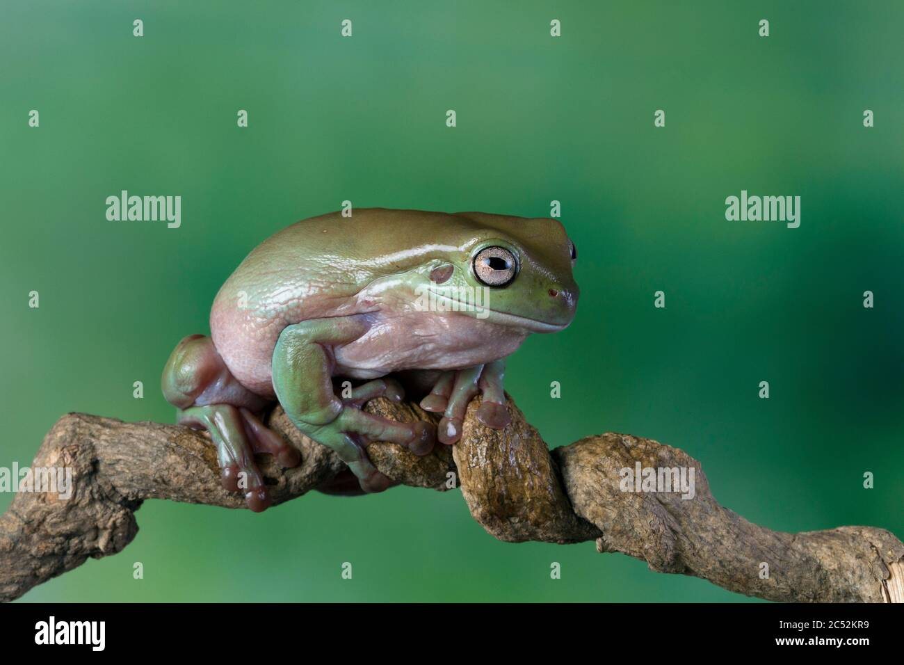 Australian white tree frog sitting on a branch, Indonesia Stock Photo