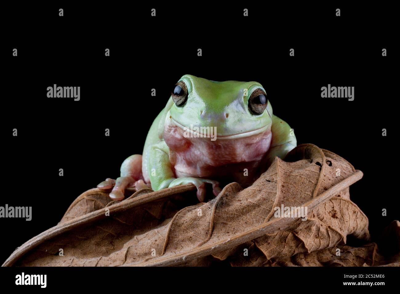 Australian Tree frog sitting on a leaf, Indonesia Stock Photo