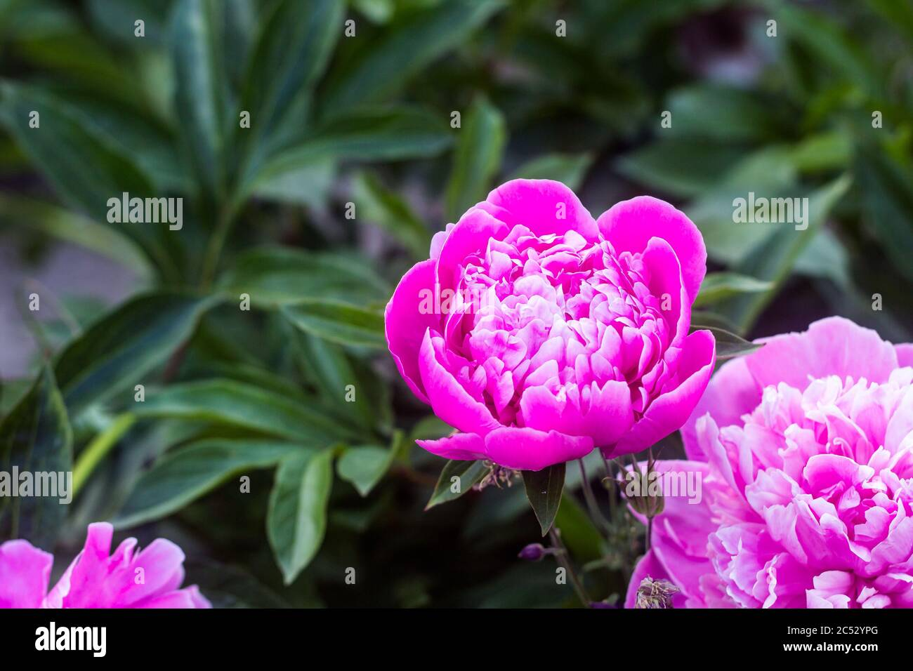 pink, purple peony inflorescences, in full bloom and unopened buds, background defocusing, selective focus Stock Photo
