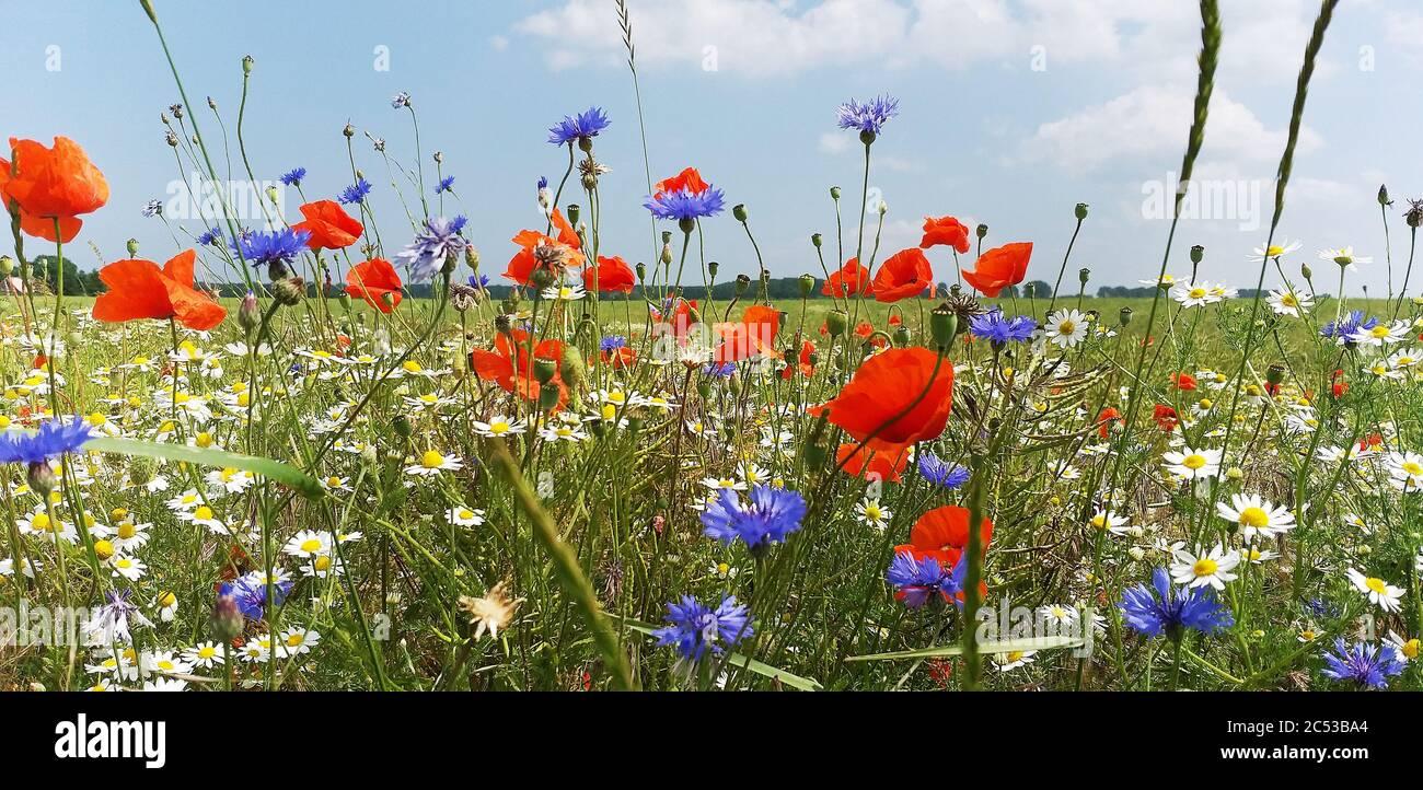 Wild summer flowers beside grain fields in Mecklenburg Vorpommern, Germany Stock Photo
