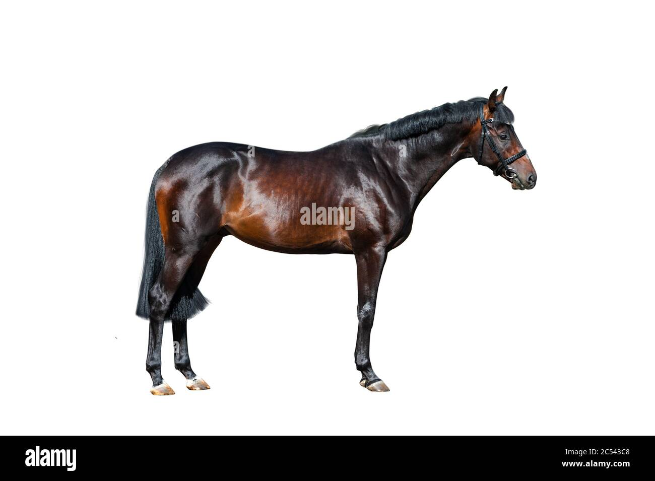 Beautiful Purebred Stallion Standing On White Dark Bay Horse Isolated Over A White Background Bay Horse In Briddle Standing High Quality Isolation Stock Photo Alamy