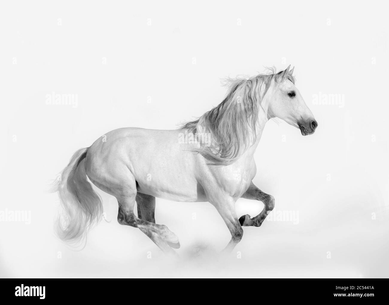 Beautiful Andalusian Stallion Shot In High Key Style Snow White Horse Running Stock Photo Alamy