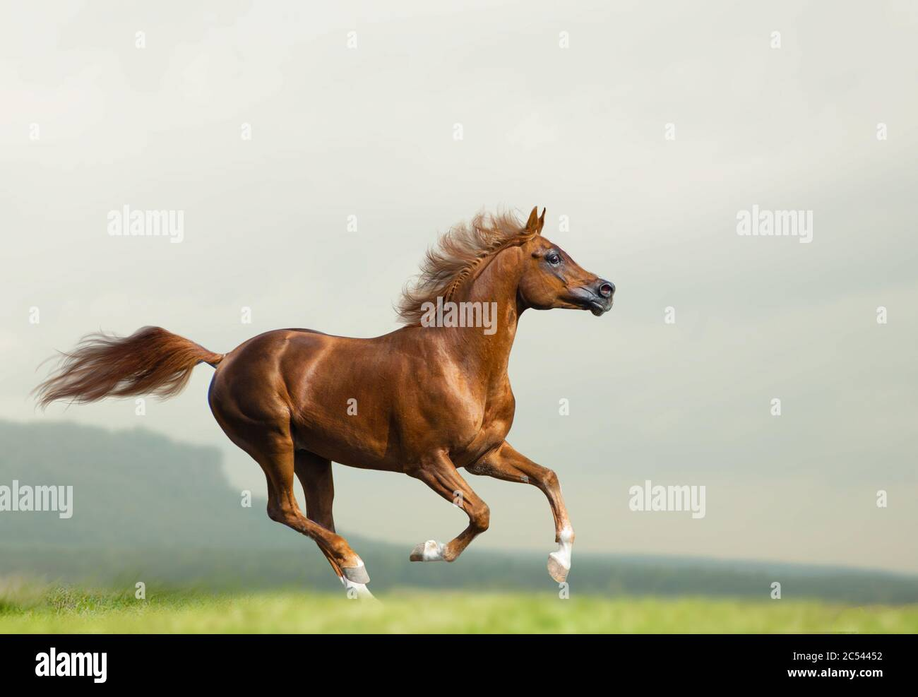 Beautiful Chestnut Arabian Stallion Running Wild Chestnut Arabian Horse On Freedom Runs Gallop Fast Mountains And Fields On The Background Stock Photo Alamy