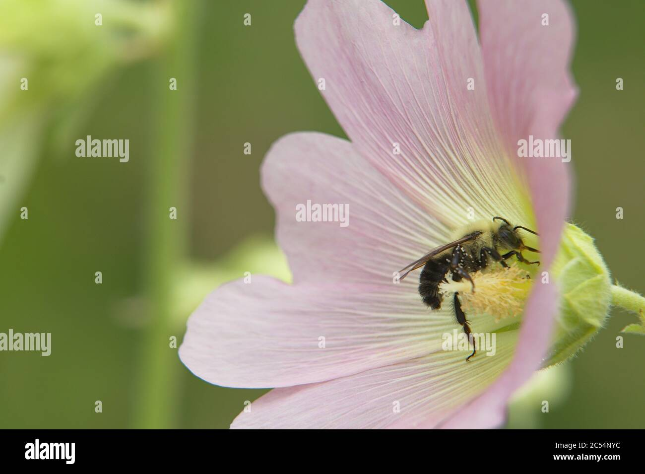 Macro of large light pink flower head with bumble bee on stigma Stock Photo