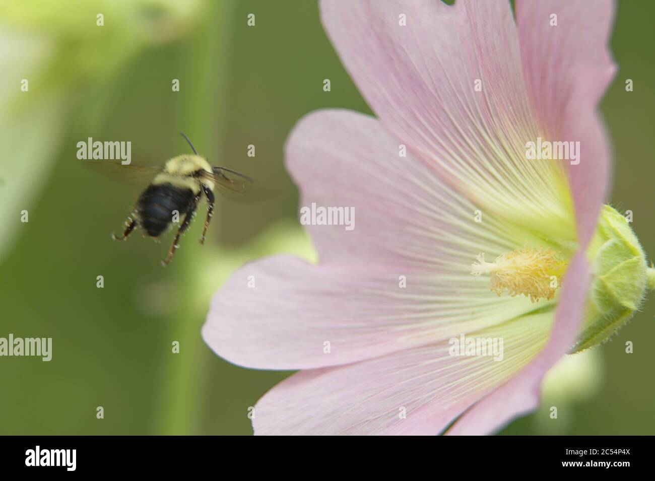 Macro of large light pink flower head with bumble bee in flight Stock Photo