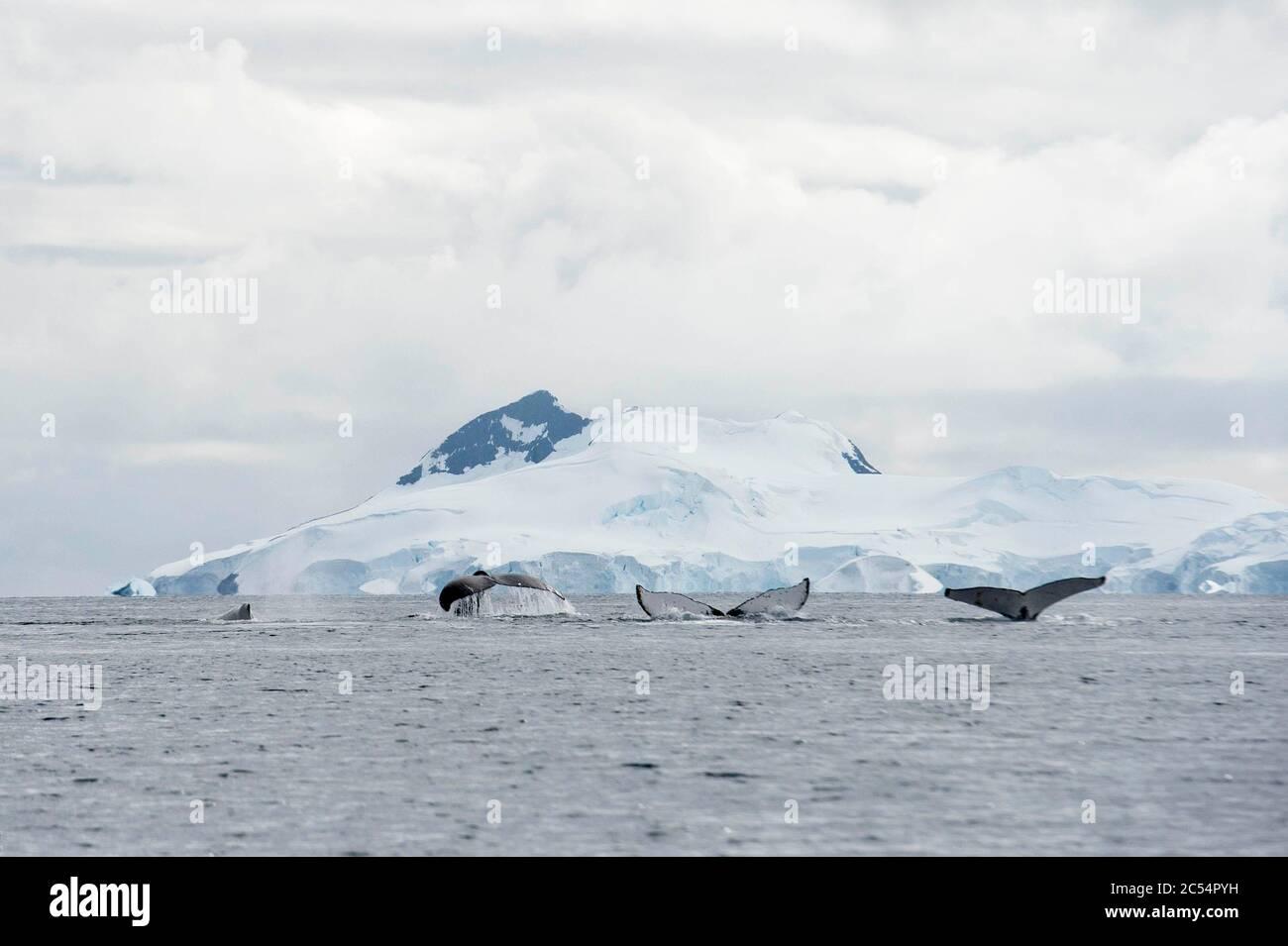 Humpback whale in Charlotte Bay Antarctica Stock Photo