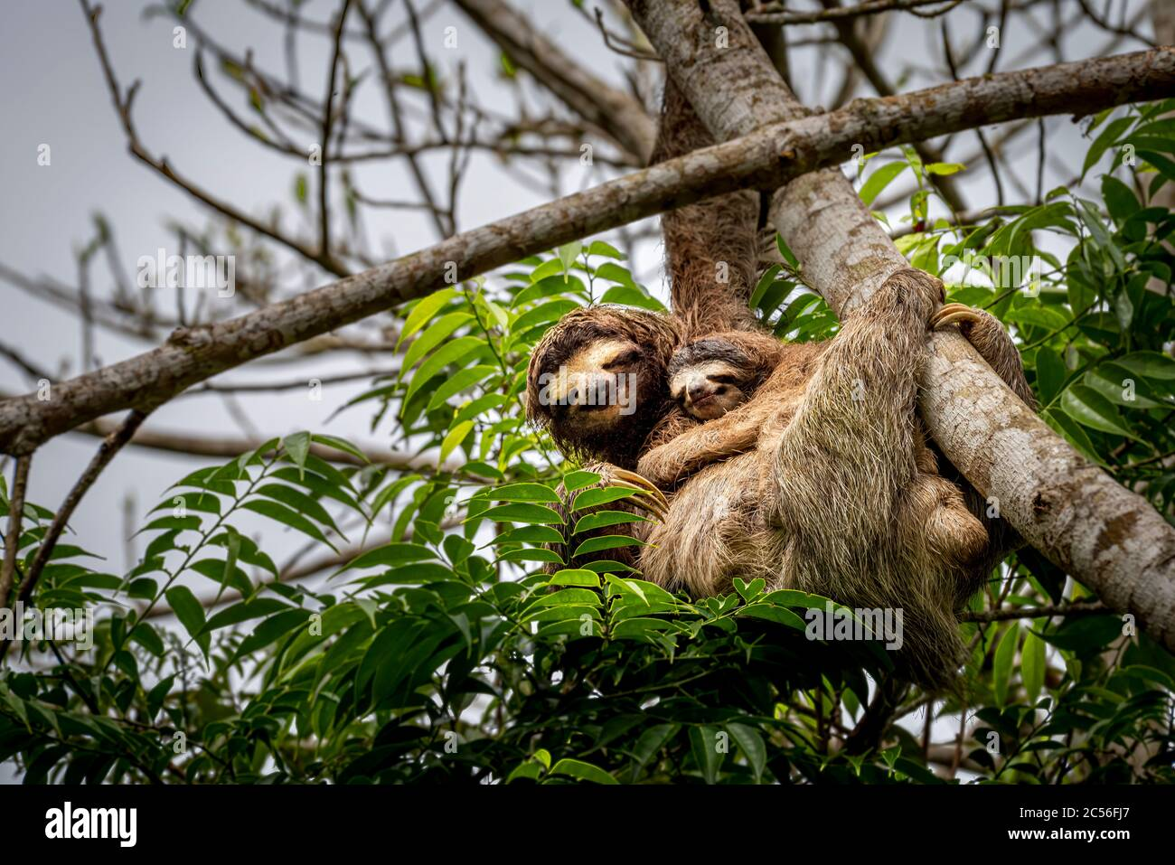 3 toed sloth with baby climbing up a tree image taken in the rain forest of Panama Stock Photo