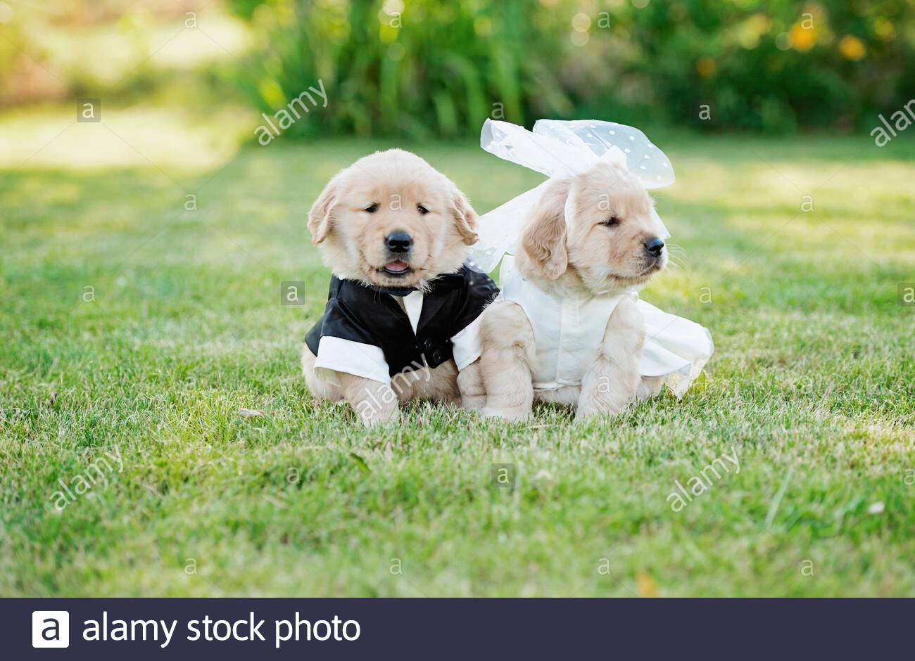 Golden Retriever Puppies Dressed In Bride And Groom Costumes Stock Photo Alamy