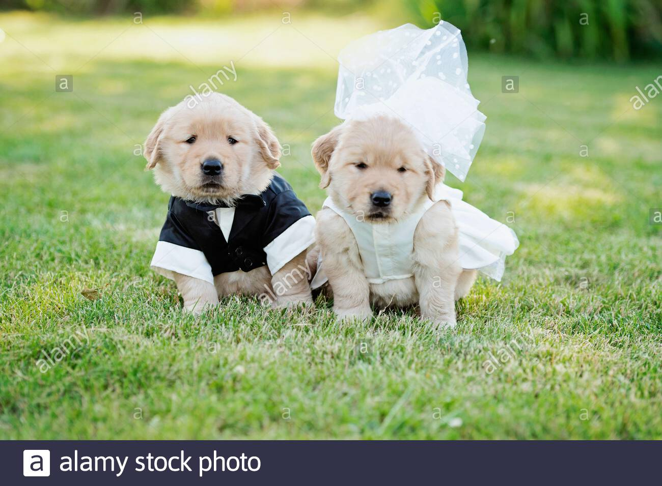 Portrait Cute Golden Retriever Puppies Dressed In Bride And Groom Costumes Stock Photo Alamy