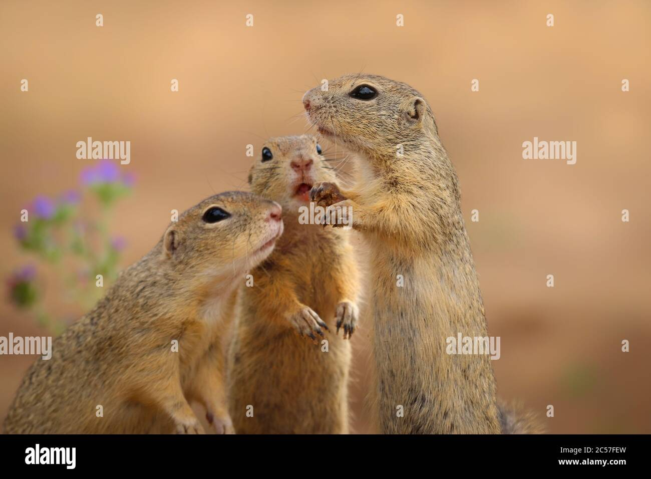 European susliks sniffing in the meadow to the flower. Three squirrel in wild nature. Group of susliks in nature. Funny portrait. Stock Photo