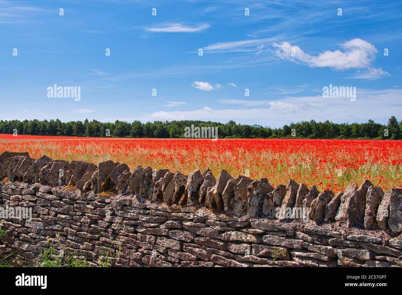 A field of bright red poppies behind a dry stone wall near Stow-on-the-Wold in the Cotswolds Stock Photo