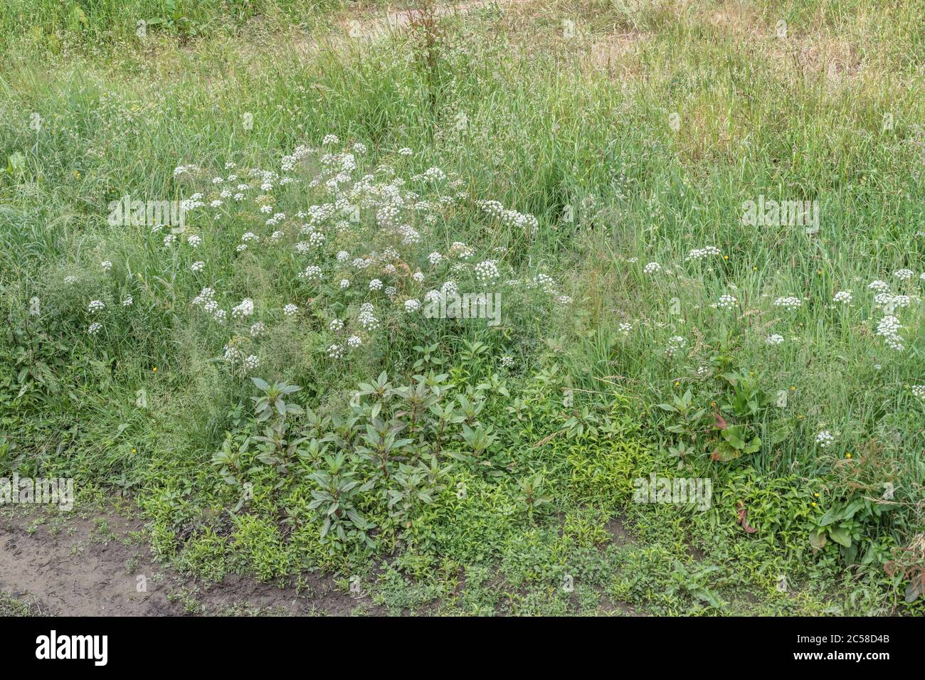 Himalayan Balsam / Impatiens gladulifera, Hemlock Water-dropwort / Oenanthe crocata & Water Pepper / Polygonum hydropiper = Persicaria hydropiper Stock Photo