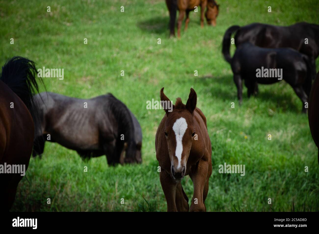 The Cute Baby Brown Horse With A White Mark On It S Forehead In The Field Stock Photo Alamy