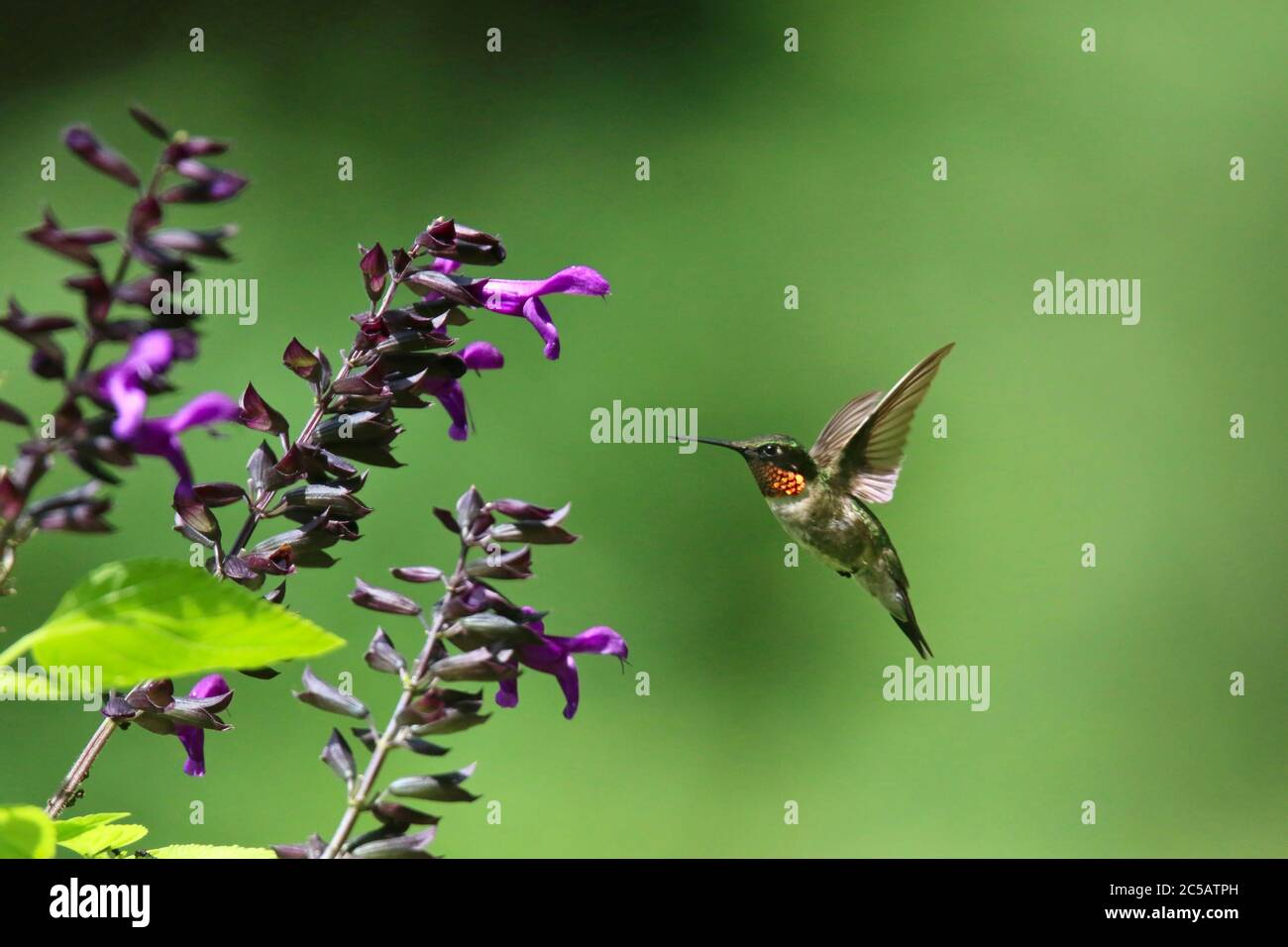 Male Ruby Throated Hummingbird Archilochus colubris Feeding on Purple Salvia Flowers Stock Photo