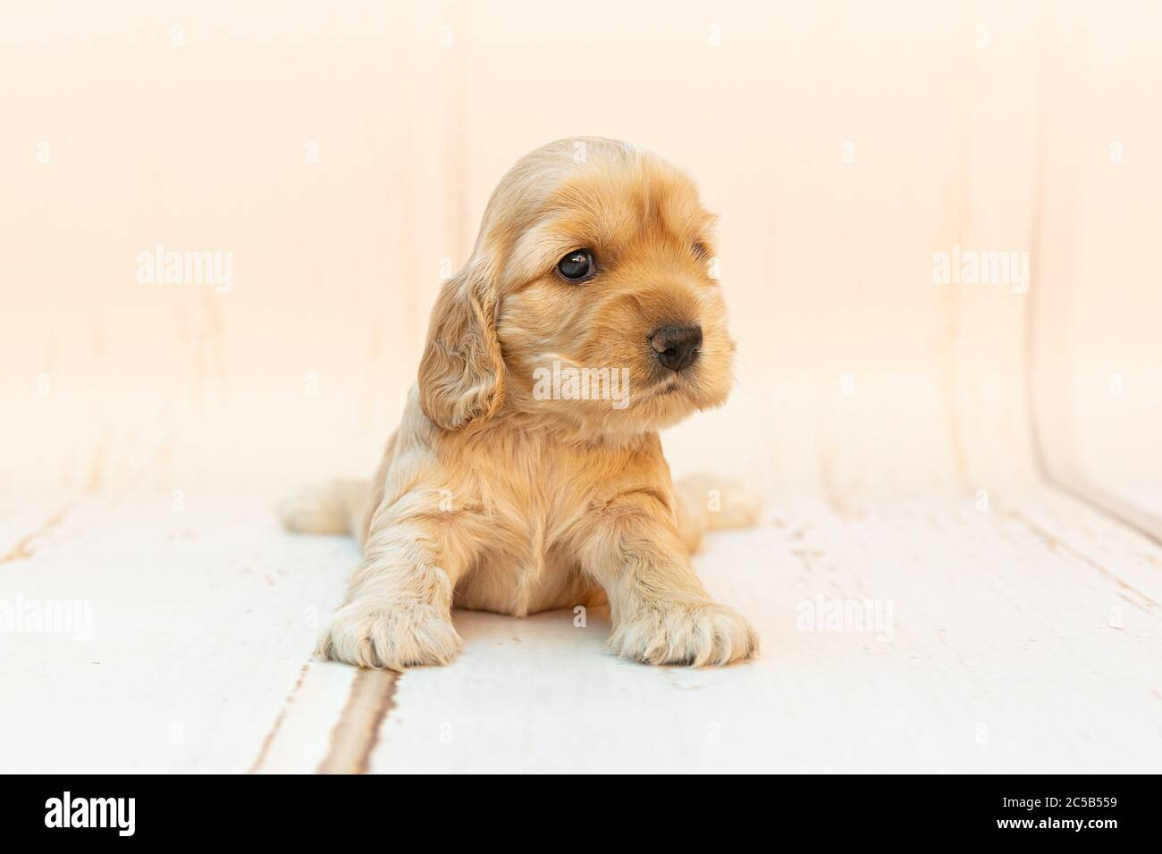 A Closeup Shot Of A Cute Cocker Spaniel Puppy With Long Ears Sitting On A White Surface Stock Photo Alamy