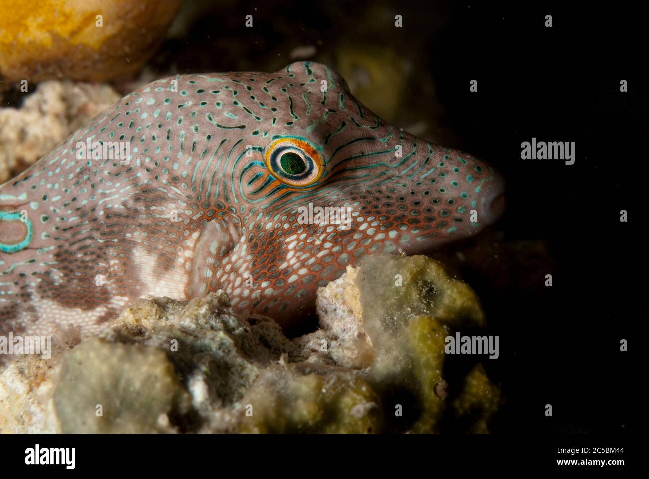Black-saddled Toby, Canthigaster valentini, with night colours, night dive, Paradise II dive site, Sipadan Water Village House Reef, Mabul Island, nea Stock Photo