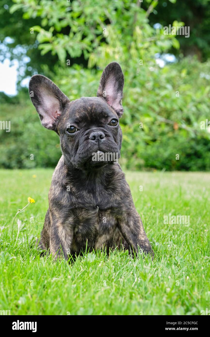 Puppy Black Brown Brindle French Bulldog Sitting In The Grass Natural Background Stock Photo Alamy