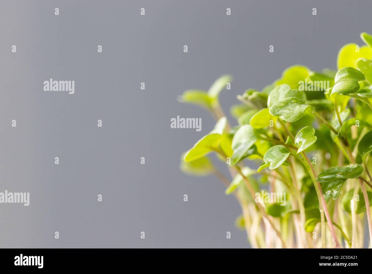 Young Green Sprouts Seedlings Arugula Selective Soft Focus Over Grey Background Free Space Banner Gardening Growing In Hotbed Summer Planting N Stock Photo Alamy