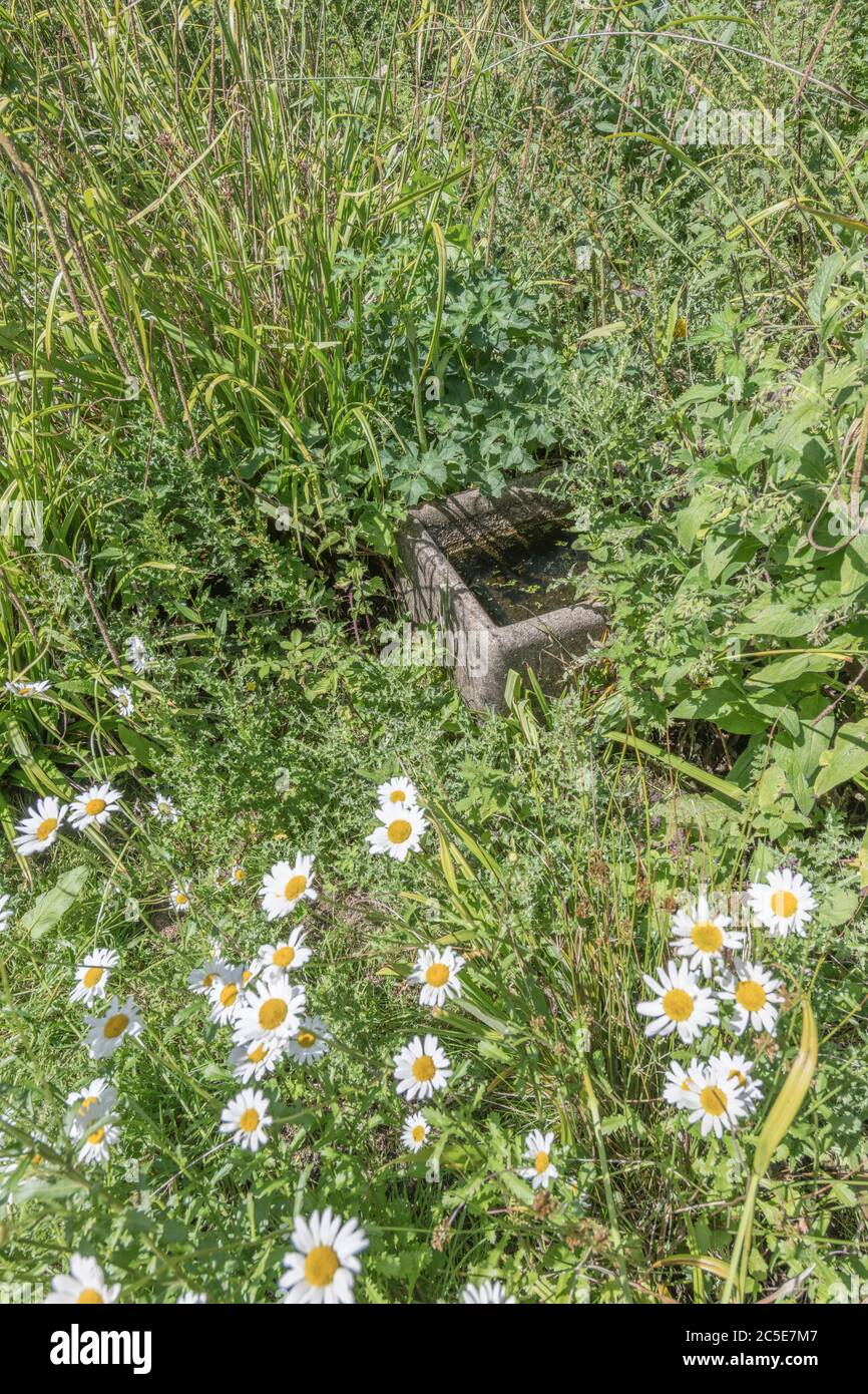 Old farm water trough abandoned and overgrown by weeds in a corne of waste farm ground. Metaphor weed, out of control, neglect, overwhelmed. Stock Photo