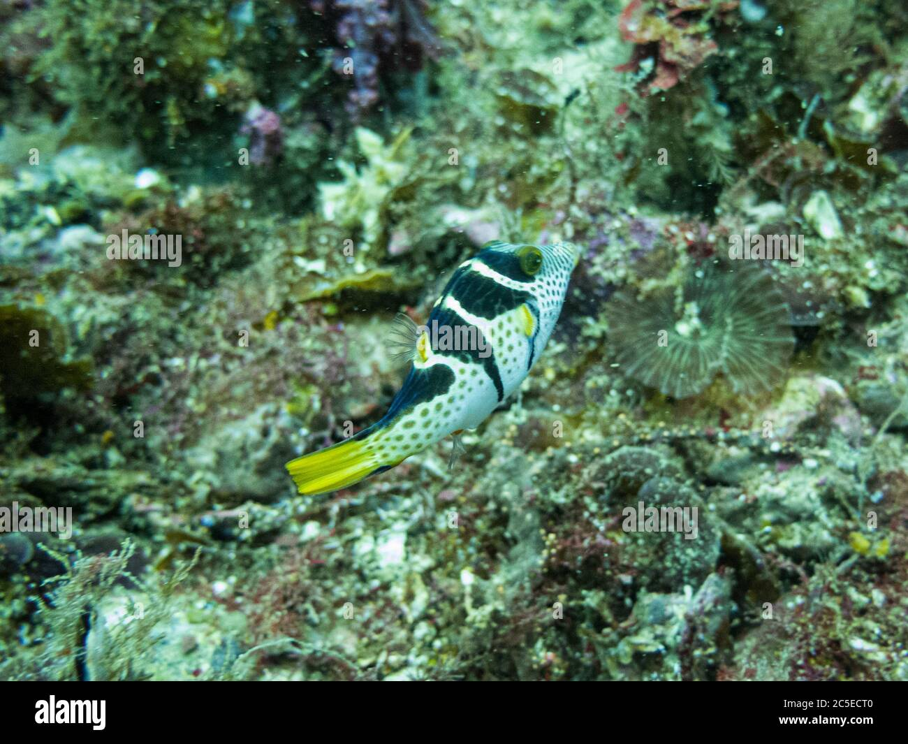 Valentin's sharpnose puffer, Canthigaster valentini, also known as the saddled puffer or black saddled toby at a tropical coral reef in Malapascua, Philippines. Healthy tropical reef Stock Photo