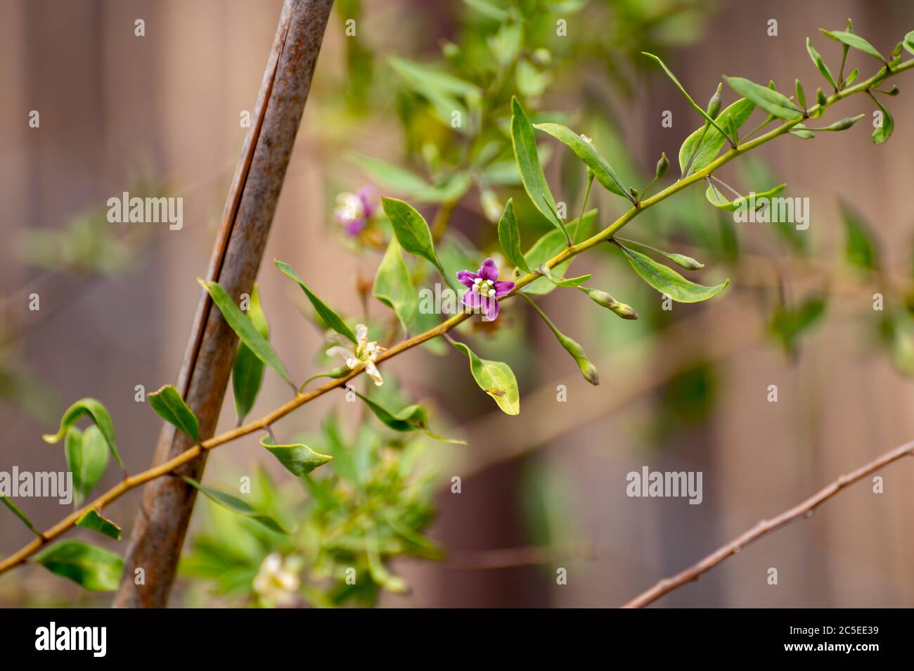 Page 3 Goji Berry Plant High Resolution Stock Photography And