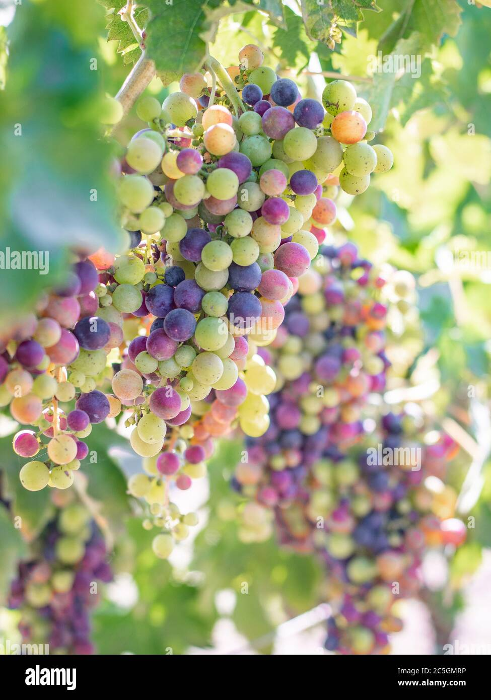 Red wine grapes on the vine nearing ripeness in veraison in Dry Creek Valley Sonoma County Wine Country California in late summer  Stock Photo
