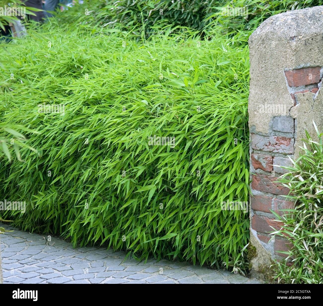 Bambus Hecke Fargesia Rufa Stock Photo Alamy