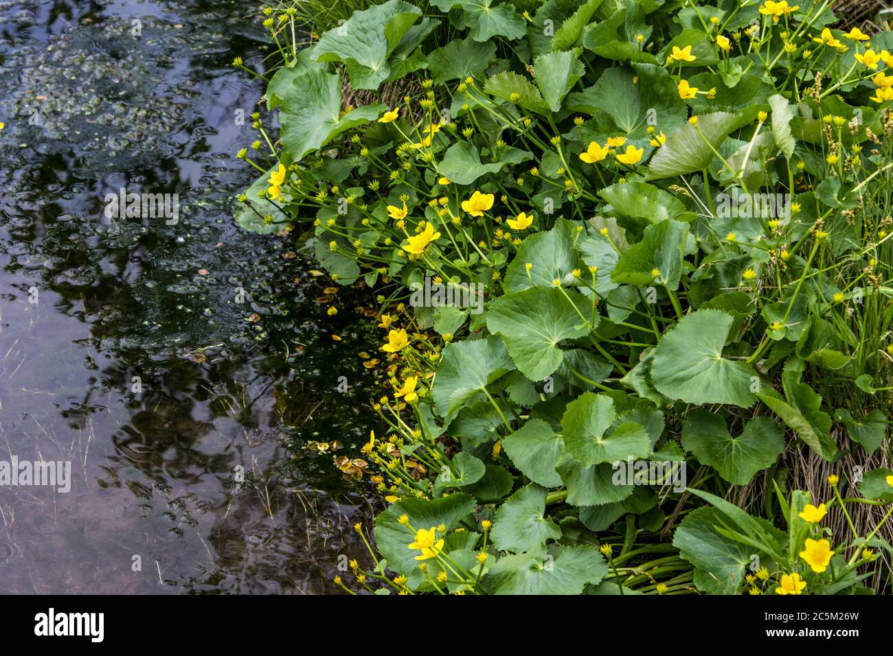Yellow Marsh Marigolds along a freshwater stream in northern Michigan. Stock Photo