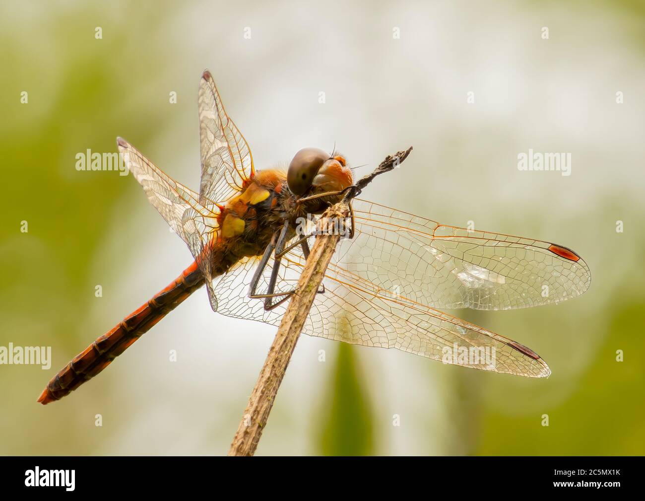 A Common Darter resting on a broken reed stem Stock Photo