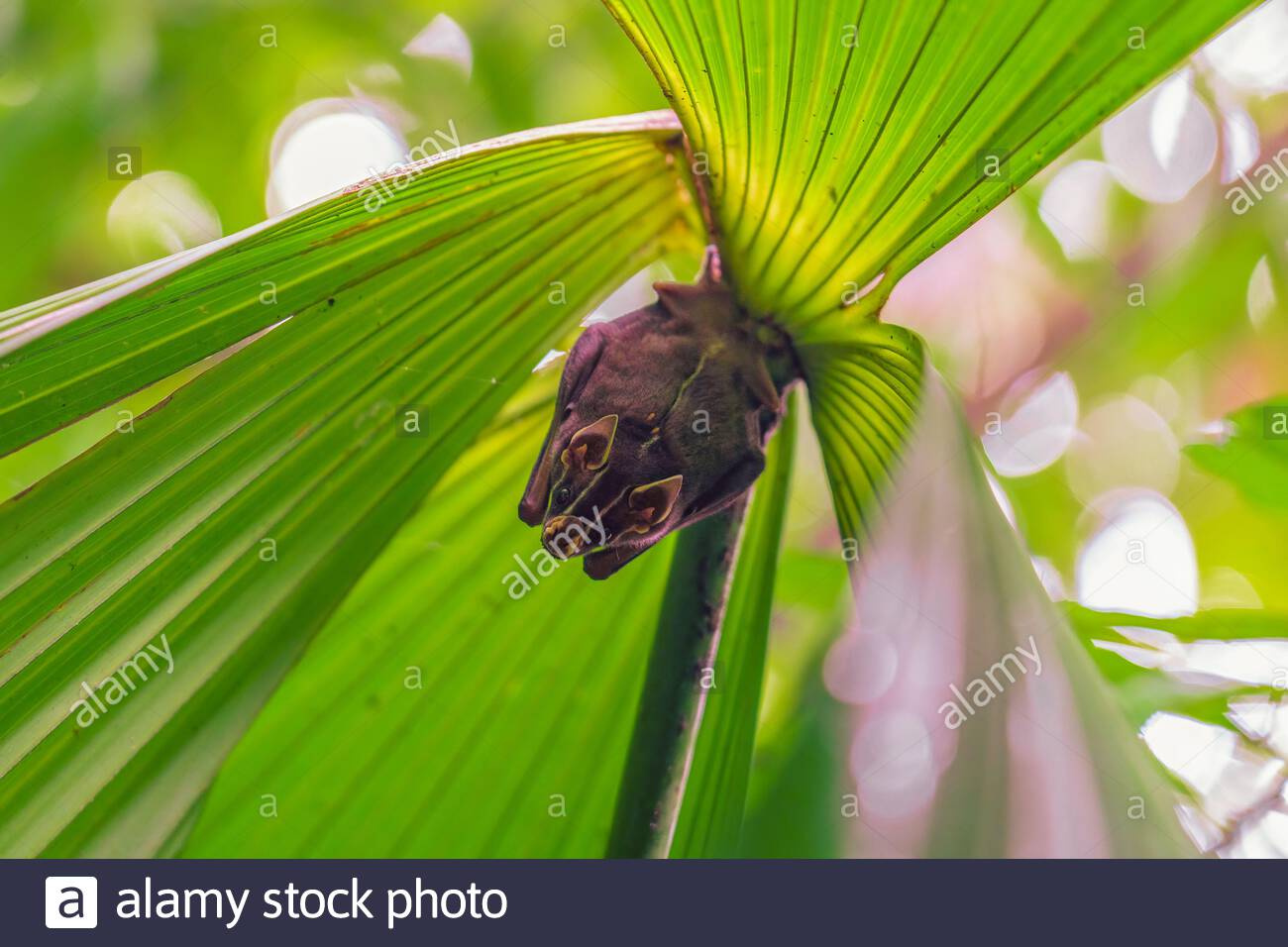 Tent-making Bat roosting in a palm frond, taken in Costa Rica Stock Photo