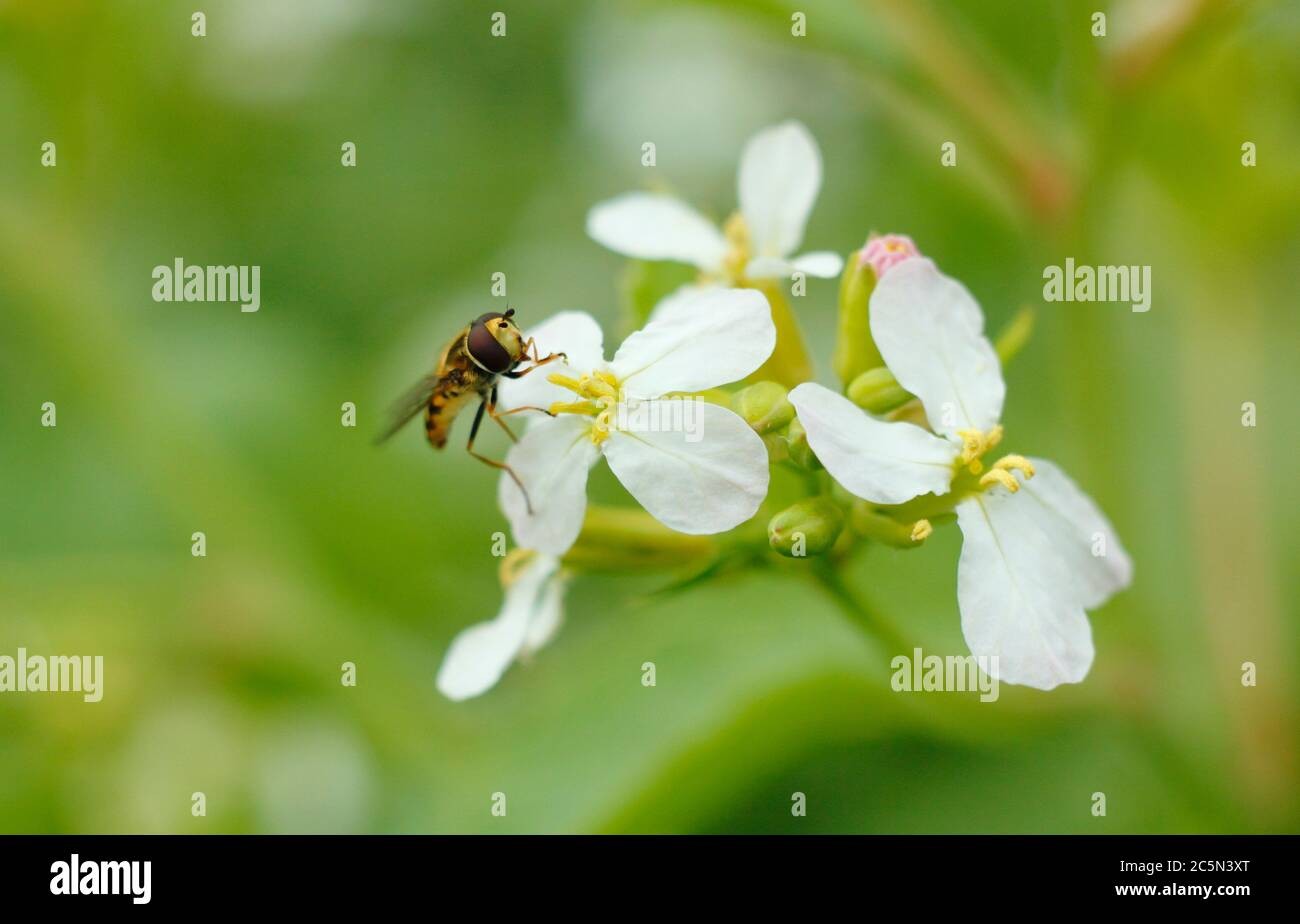 Hoverfly feeding on the flower pollen of a bolted radish plant in an English garden.  Syrphus ribesi on Raphanus sativus. Stock Photo