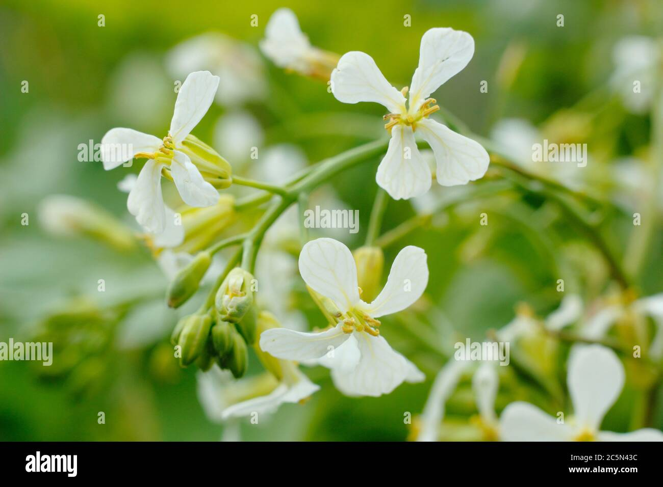 Raphanus sativus. Flowers of a bolted radish plant in an English potager garden. UK Stock Photo