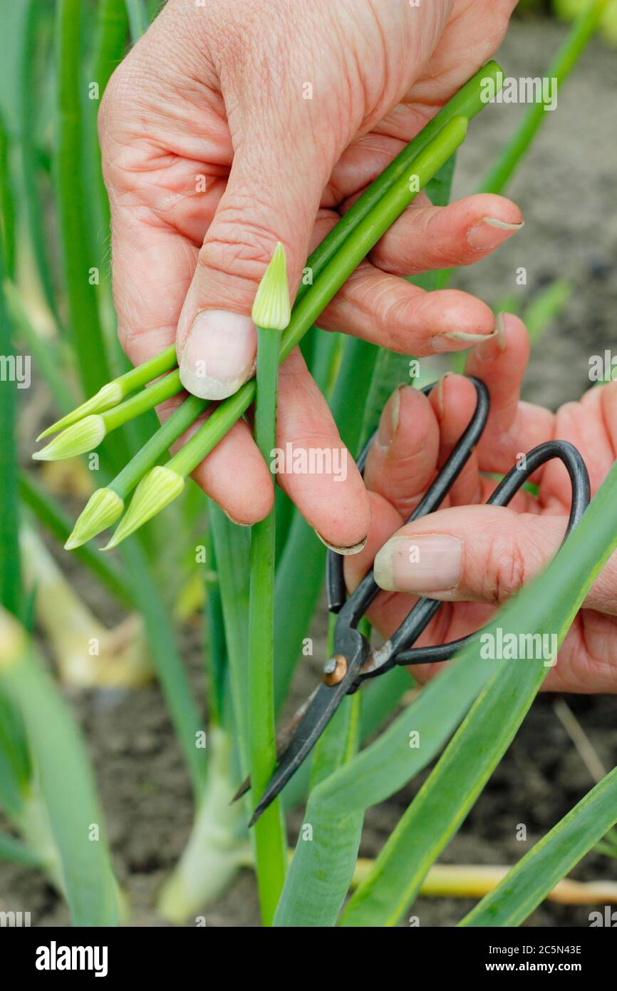 Snipping off the flower head of a bolted onion plants to stop the plant from wasting energy on seed development. UK Stock Photo