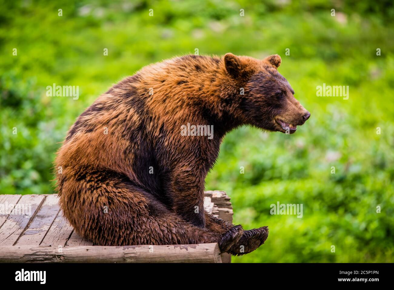 Parc Omega, Canada - July 3 2020: Brown bear in the Omega Park in Canada Stock Photo