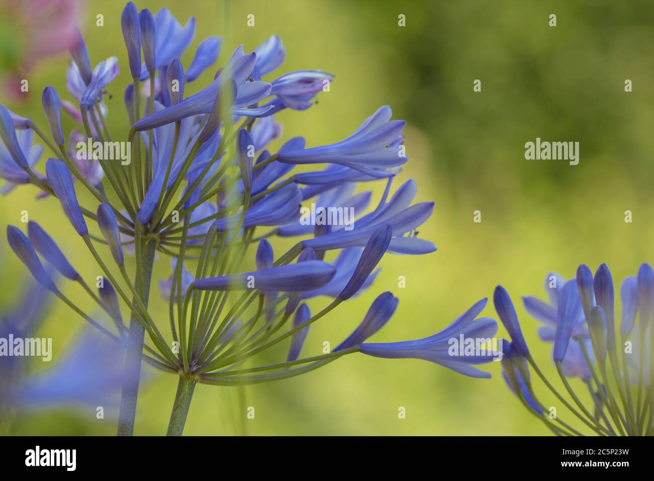 blooming agapanthus africanus flower (lily of the nile) with blurred bokeh background Stock Photo