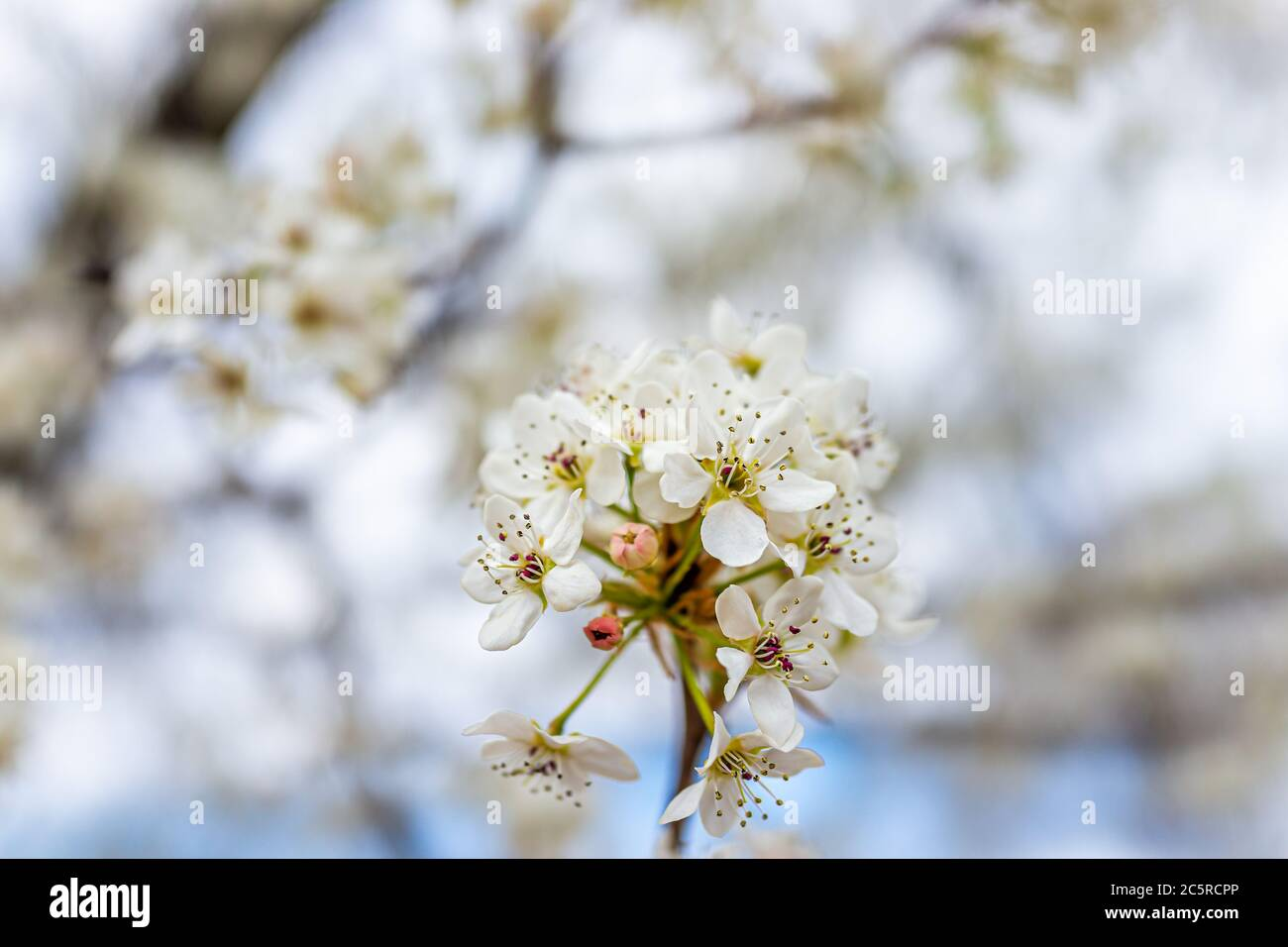 White cherry blossom sakura tree flower cluster macro closeup on branch in spring in northern Virginia with bokeh blurry background Stock Photo