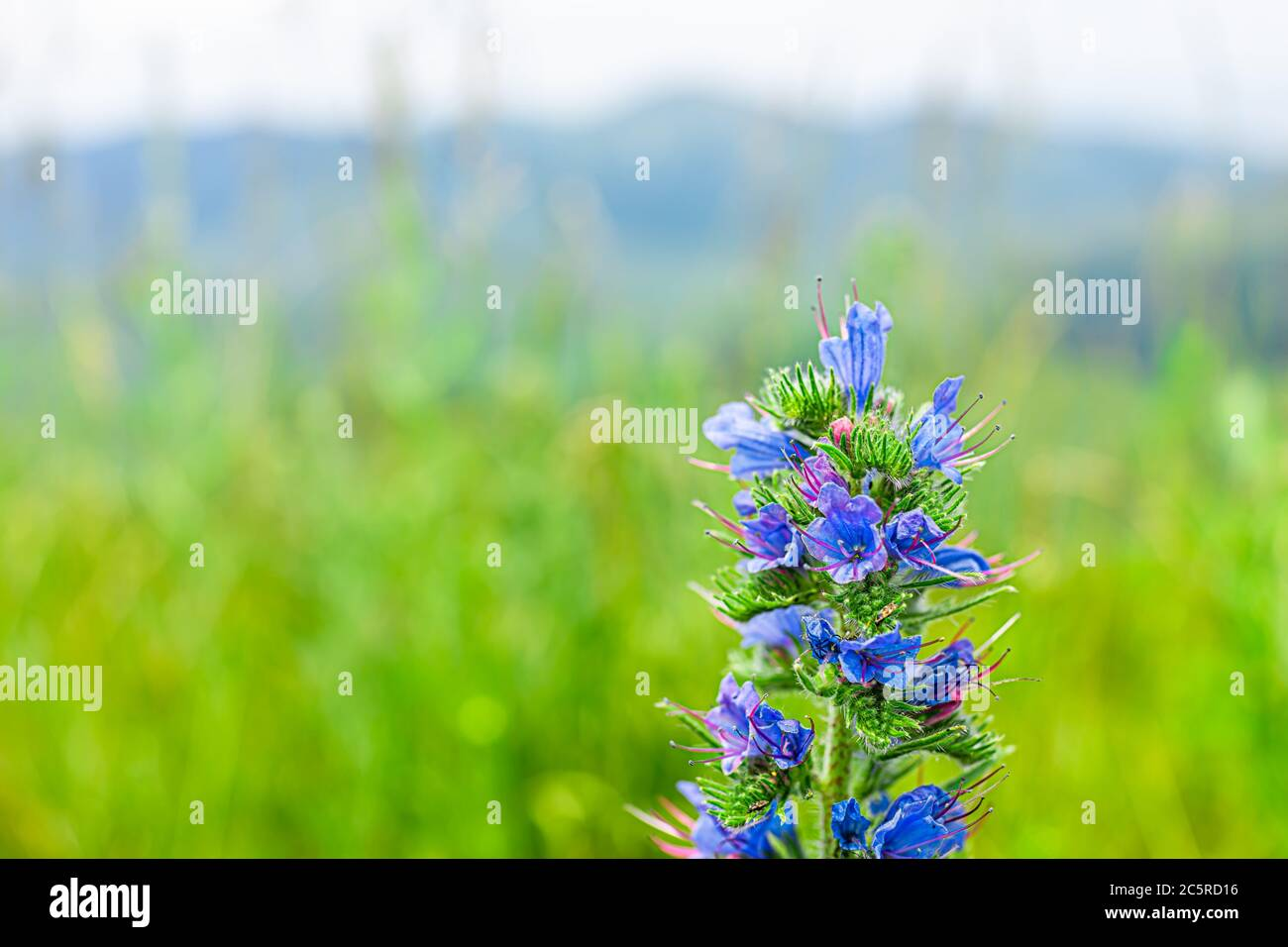 Macro closeup of purple blue viper's bugloss wild wildflowers flowers in summer in Shenandoah National Park in Virginia, USA with Blue Ridge Mountains Stock Photo